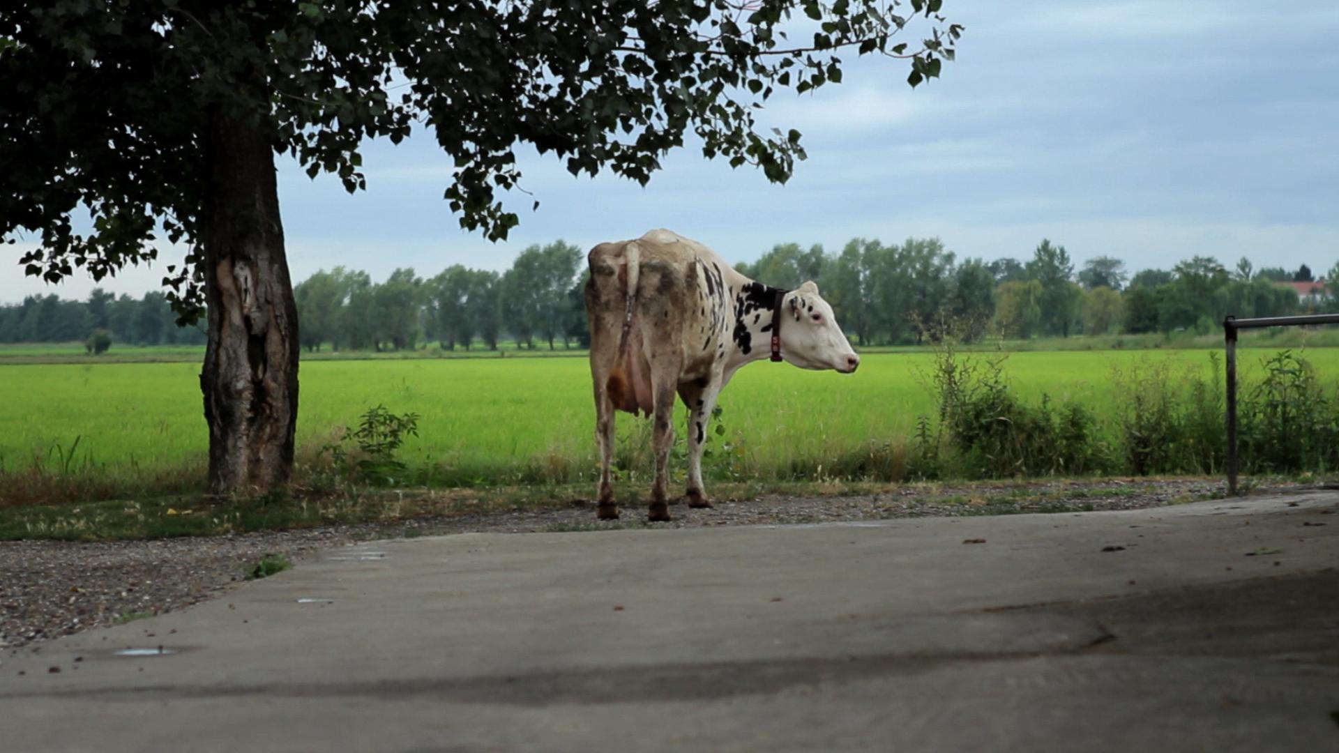 """Le vacche e i robot</br><span class=""""sT"""">Cascina Femegro, Zibido San Giacomo</span>"""